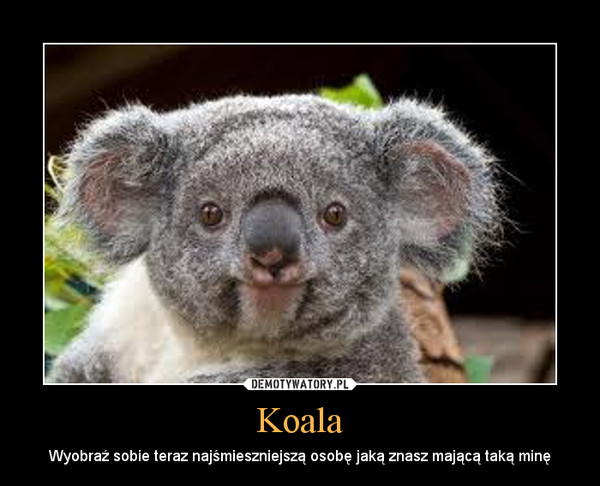 Koala – Wyobraź sobie teraz najśmieszniejszą osobę jaką znasz mającą taką minę