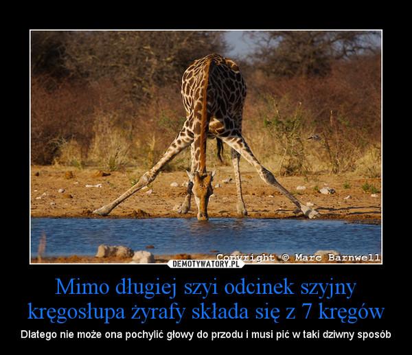 Mimo długiej szyi odcinek szyjny kręgosłupa żyrafy składa się z 7 kręgów – Dlatego nie może ona pochylić głowy do przodu i musi pić w taki dziwny sposób