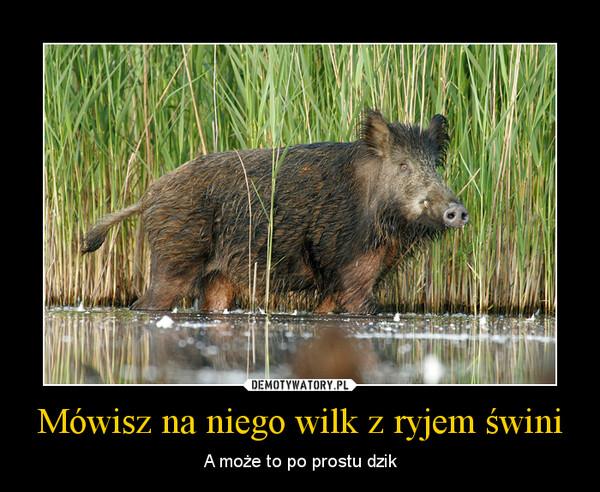 Mówisz na niego wilk z ryjem świni – A może to po prostu dzik
