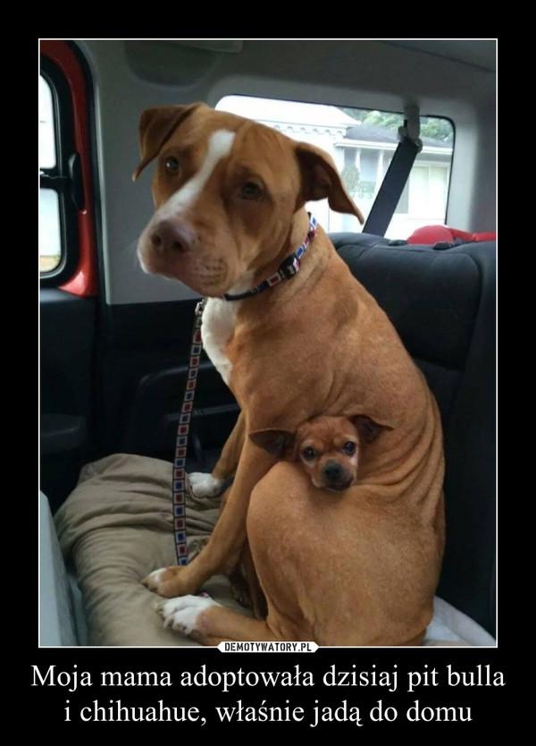 Moja mama adoptowała dzisiaj pit bulla i chihuahue, właśnie jadą do domu –