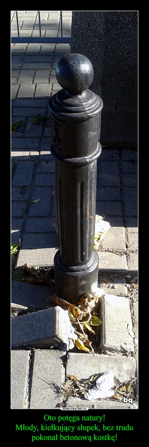 Oto potęga natury!Młody, kiełkujący słupek, bez trudu pokonał betonową kostkę! –