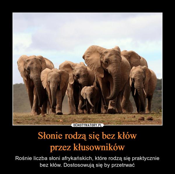 Słonie rodzą się bez kłówprzez kłusowników – Rośnie liczba słoni afrykańskich, które rodzą się praktyczniebez kłów. Dostosowują się by przetrwać