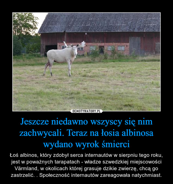 Jeszcze niedawno wszyscy się nim zachwycali. Teraz na łosia albinosa wydano wyrok śmierci – Łoś albinos, który zdobył serca internautów w sierpniu tego roku, jest w poważnych tarapatach - władze szwedzkiej miejscowości Värmland, w okolicach której grasuje dzikie zwierzę, chcą go zastrzelić. . Społeczność internautów zareagowała natychmiast.