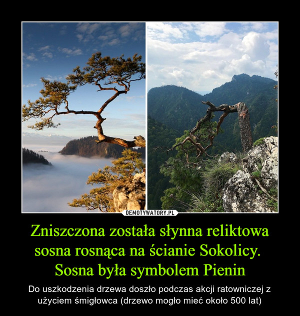 Zniszczona została słynna reliktowa sosna rosnąca na ścianie Sokolicy. Sosna była symbolem Pienin – Do uszkodzenia drzewa doszło podczas akcji ratowniczej z użyciem śmigłowca (drzewo mogło mieć około 500 lat)