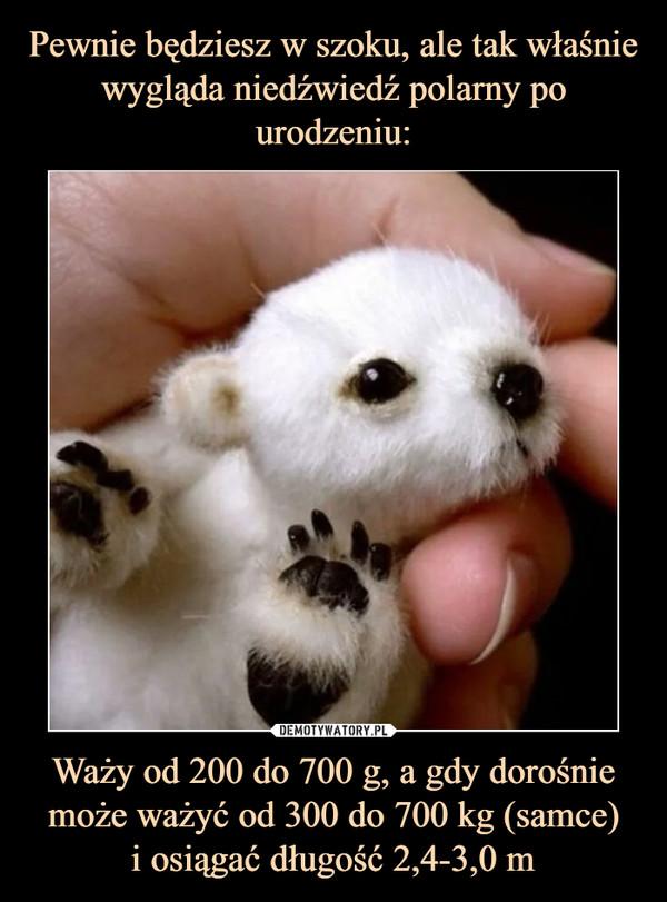 Waży od 200 do 700 g, a gdy dorośnie może ważyć od 300 do 700 kg (samce)i osiągać długość 2,4-3,0 m –