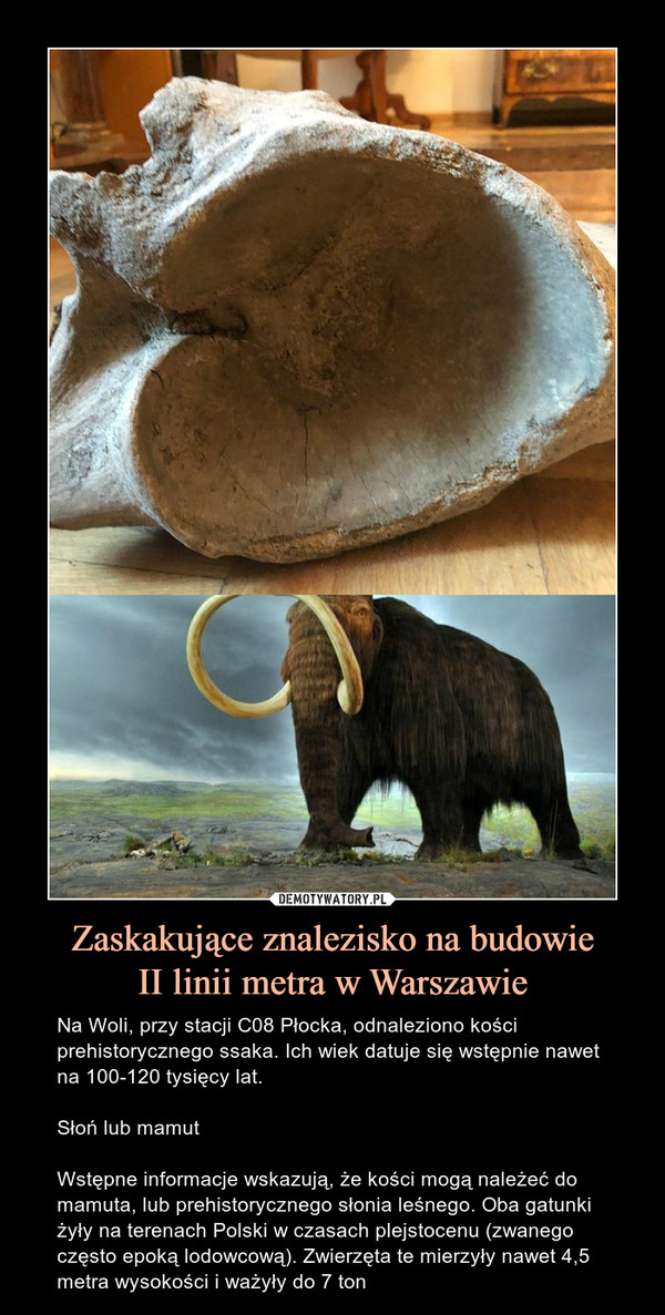 Zaskakujące znalezisko na budowieII linii metra w Warszawie – Na Woli, przy stacji C08 Płocka, odnaleziono kości prehistorycznego ssaka. Ich wiek datuje się wstępnie nawet na 100-120 tysięcy lat.Słoń lub mamutWstępne informacje wskazują, że kości mogą należeć do mamuta, lub prehistorycznego słonia leśnego. Oba gatunki żyły na terenach Polski w czasach plejstocenu (zwanego często epoką lodowcową). Zwierzęta te mierzyły nawet 4,5 metra wysokości i ważyły do 7 ton