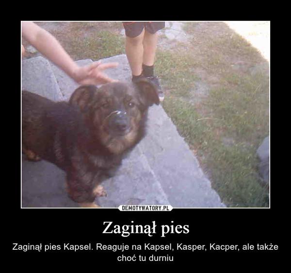 Zaginął pies – Zaginął pies Kapsel. Reaguje na Kapsel, Kasper, Kacper, ale także choć tu durniu