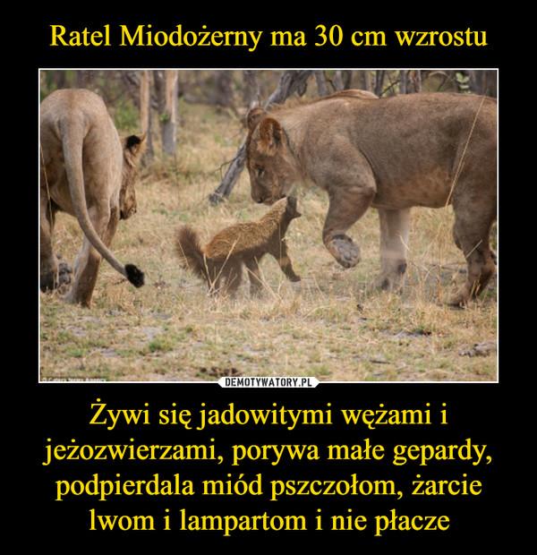 Żywi się jadowitymi wężami i jeżozwierzami, porywa małe gepardy, podpierdala miód pszczołom, żarcie lwom i lampartom i nie płacze –
