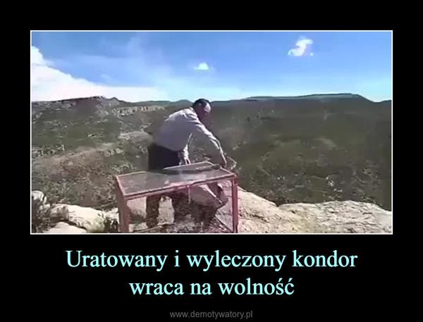 Uratowany i wyleczony kondorwraca na wolność –