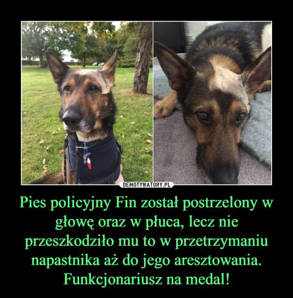 Pies policyjny Fin został postrzelony w głowę oraz w płuca, lecz nie przeszkodziło mu to w przetrzymaniu napastnika aż do jego aresztowania. Funkcjonariusz na medal! –
