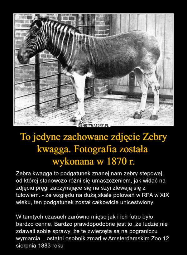 To jedyne zachowane zdjęcie Zebry kwagga. Fotografia została wykonana w 1870 r. – Zebra kwagga to podgatunek znanej nam zebry stepowej, od której stanowczo różni się umaszczeniem, jak widać na zdjęciu pręgi zaczynające się na szyi zlewają się z tułowiem. - ze względu na dużą skale polowań w RPA w XIX wieku, ten podgatunek został całkowicie unicestwiony. W tamtych czasach zarówno mięso jak i ich futro było bardzo cenne. Bardzo prawdopodobne jest to, że ludzie nie zdawali sobie sprawy, że te zwierzęta są na pograniczu wymarcia... ostatni osobnik zmarł w Amsterdamskim Zoo 12 sierpnia 1883 roku