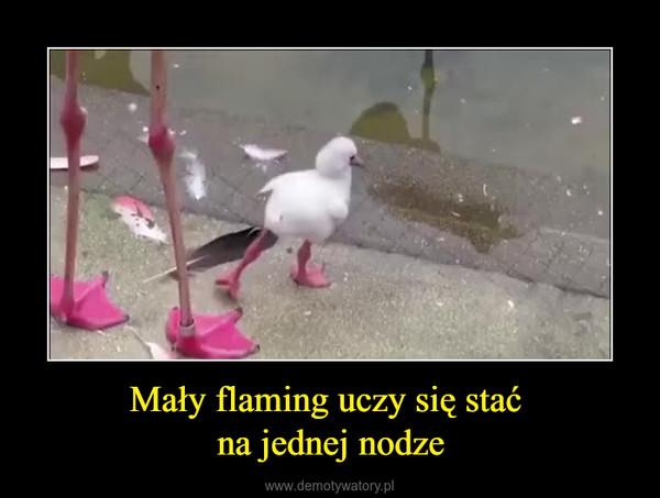 Mały flaming uczy się stać na jednej nodze –
