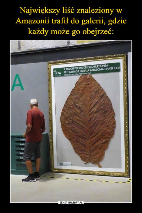 Największy liść znaleziony w Amazonii trafił do galerii, gdzie każdy może go obejrzeć: