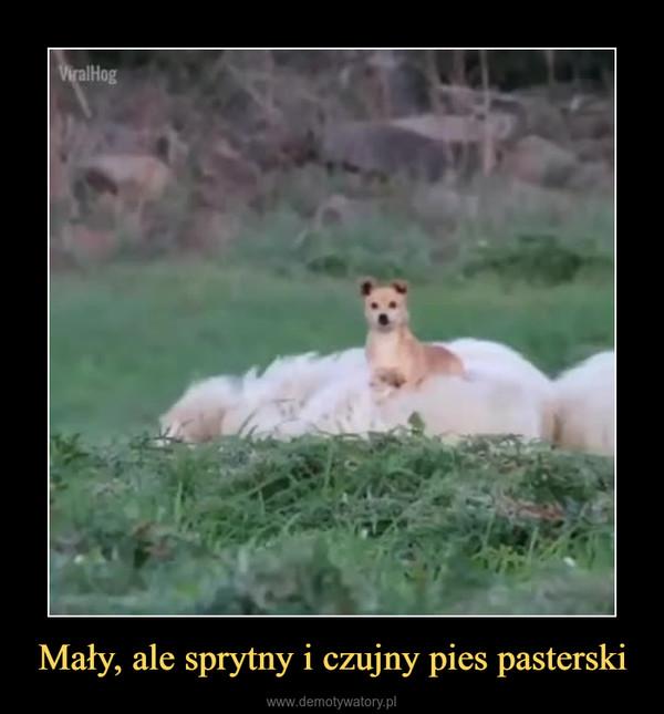 Mały, ale sprytny i czujny pies pasterski –