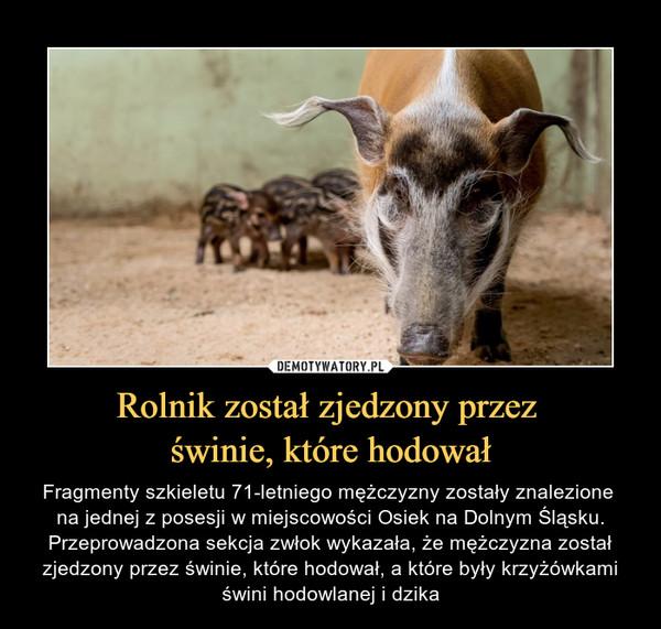 Rolnik został zjedzony przez  świnie, które hodował