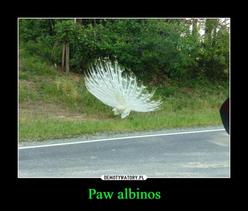 Paw albinos