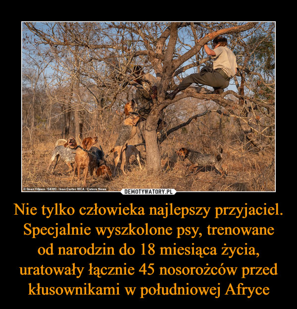 Nie tylko człowieka najlepszy przyjaciel. Specjalnie wyszkolone psy, trenowane od narodzin do 18 miesiąca życia, uratowały łącznie 45 nosorożców przed kłusownikami w południowej Afryce –