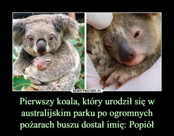 Pierwszy koala, który urodził się w australijskim parku po ogromnych pożarach buszu dostał imię: Popiół –