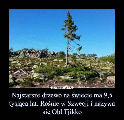 Najstarsze drzewo na świecie ma 9,5 tysiąca lat. Rośnie w Szwecji i nazywa się Old Tjikko