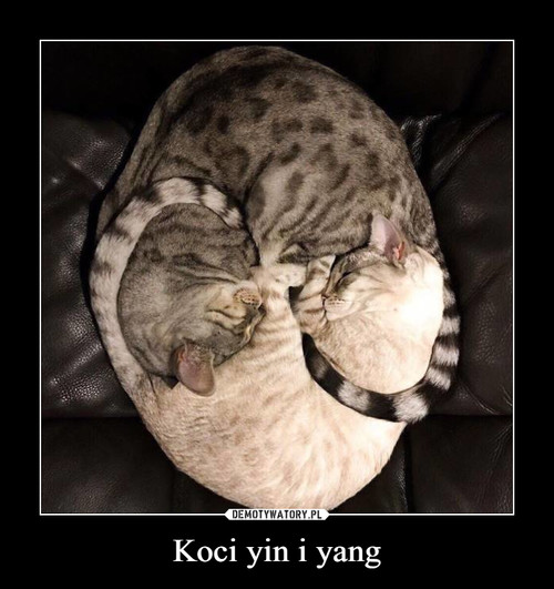 Koci yin i yang