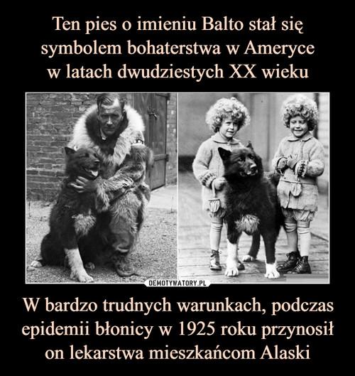 Ten pies o imieniu Balto stał się symbolem bohaterstwa w Ameryce w latach dwudziestych XX wieku W bardzo trudnych warunkach, podczas epidemii błonicy w 1925 roku przynosił on lekarstwa mieszkańcom Alaski
