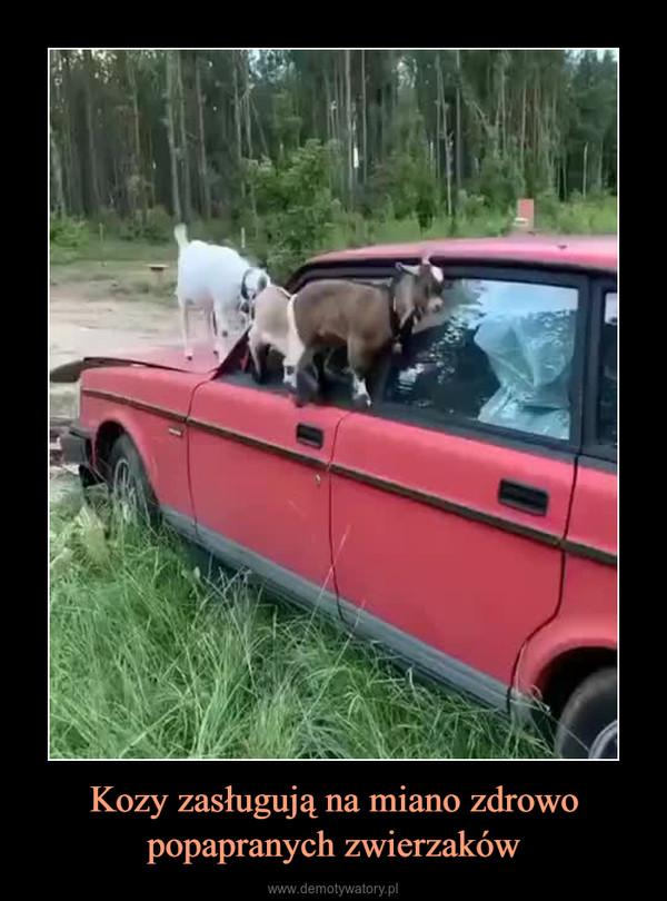 Kozy zasługują na miano zdrowo popapranych zwierzaków –