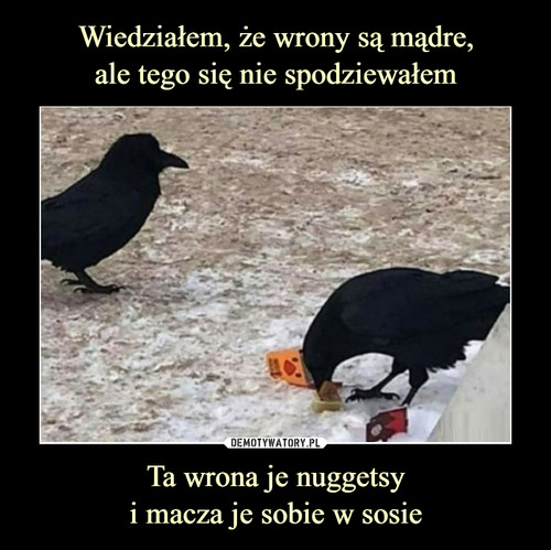 Wiedziałem, że wrony są mądre, ale tego się nie spodziewałem Ta wrona je nuggetsy i macza je sobie w sosie
