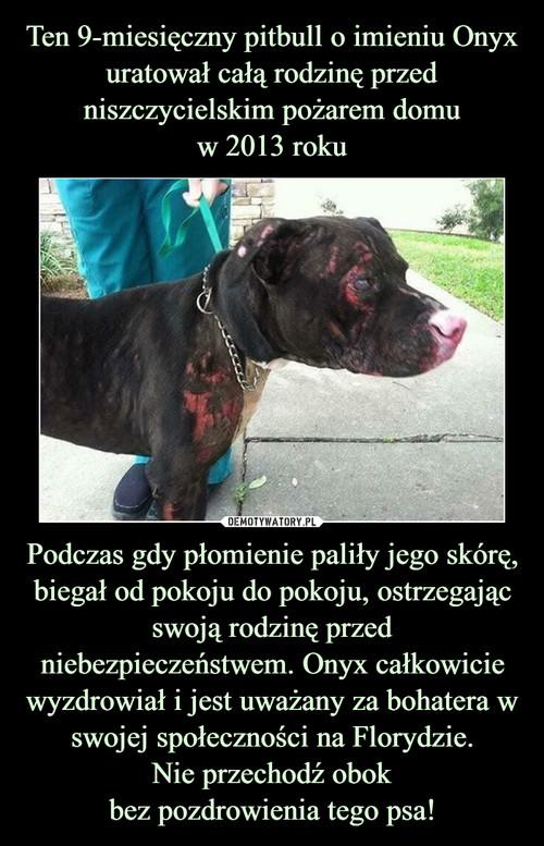 Ten 9-miesięczny pitbull o imieniu Onyx uratował całą rodzinę przed niszczycielskim pożarem domu w 2013 roku Podczas gdy płomienie paliły jego skórę, biegał od pokoju do pokoju, ostrzegając swoją rodzinę przed niebezpieczeństwem. Onyx całkowicie wyzdrowiał i jest uważany za bohatera w swojej społeczności na Florydzie. Nie przechodź obok bez pozdrowienia tego psa!