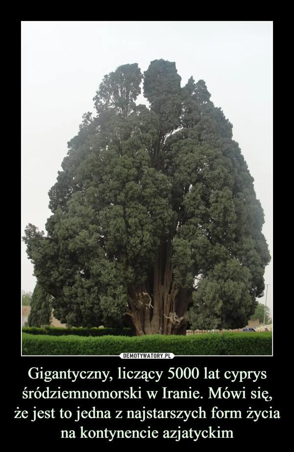 Gigantyczny, liczący 5000 lat cyprys śródziemnomorski w Iranie. Mówi się,że jest to jedna z najstarszych form życiana kontynencie azjatyckim –