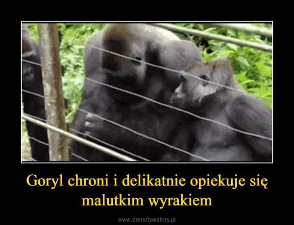 Goryl chroni i delikatnie opiekuje się malutkim wyrakiem –