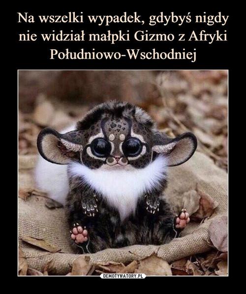 Na wszelki wypadek, gdybyś nigdy nie widział małpki Gizmo z Afryki Południowo-Wschodniej