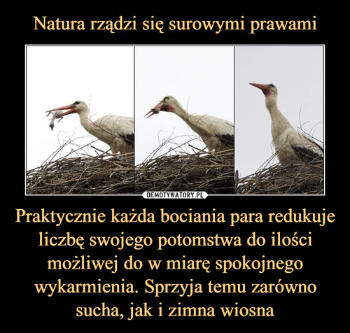 Natura rządzi się surowymi prawami Praktycznie każda bociania para redukuje liczbę swojego potomstwa do ilości możliwej do w miarę spokojnego wykarmienia. Sprzyja temu zarówno sucha, jak i zimna wiosna