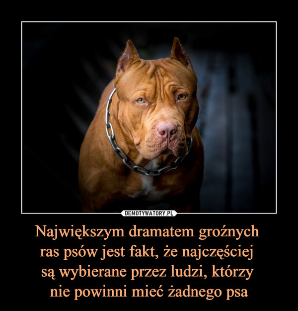 Największym dramatem groźnych  ras psów jest fakt, że najczęściej  są wybierane przez ludzi, którzy  nie powinni mieć żadnego psa