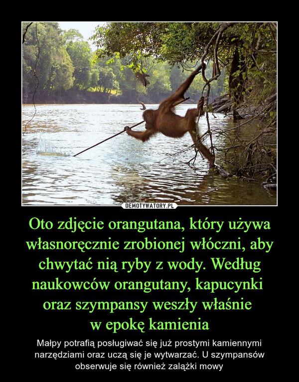 Oto zdjęcie orangutana, który używa własnoręcznie zrobionej włóczni, aby chwytać nią ryby z wody. Według naukowców orangutany, kapucynki oraz szympansy weszły właśnie w epokę kamienia – Małpy potrafią posługiwać się już prostymi kamiennymi narzędziami oraz uczą się je wytwarzać. U szympansów obserwuje się również zalążki mowy