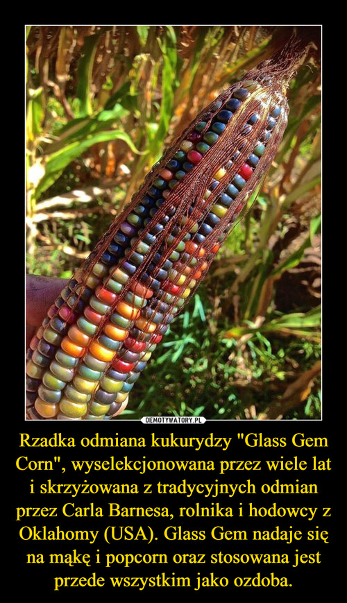 """Rzadka odmiana kukurydzy """"Glass Gem Corn"""", wyselekcjonowana przez wiele lat i skrzyżowana z tradycyjnych odmian przez Carla Barnesa, rolnika i hodowcy z Oklahomy (USA). Glass Gem nadaje się na mąkę i popcorn oraz stosowana jest przede wszystkim jako ozdoba."""